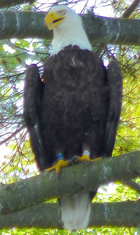 Adult Eagle in Tree