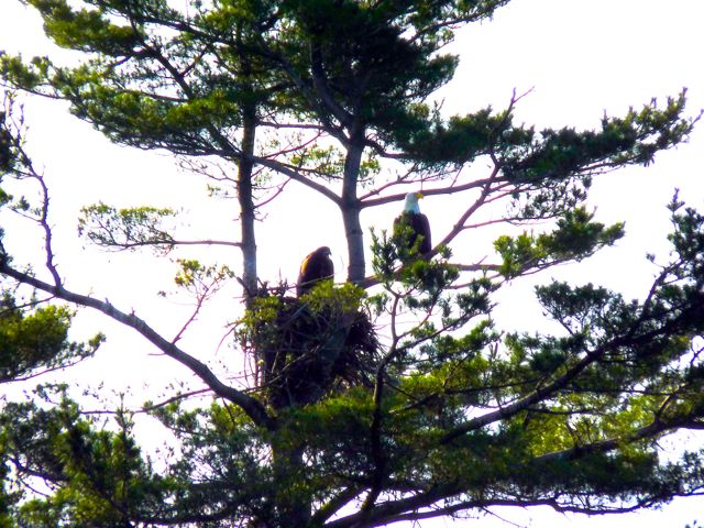 Parent with Eaglet Chickts