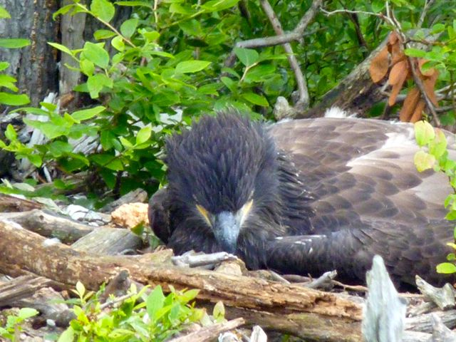 Eagle Chick in Distress